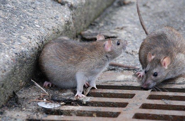 6 Penyakit Disebabkan Oleh  Tikus