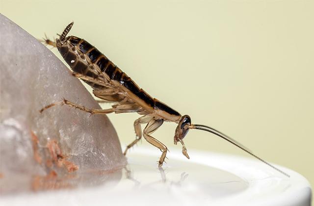 Cara Usir Kecoa Dengan Bahan Rumah Tangga