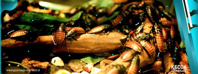 Penyakit Berbahaya yang Mengintai Akibat Serangan Kecoa